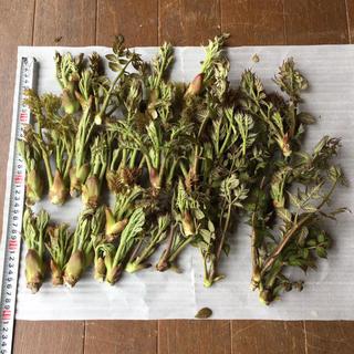 タラの芽 新潟産天然 450g(野菜)