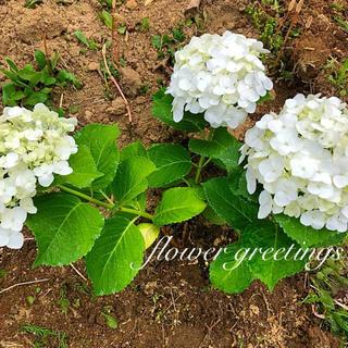 紫陽花 アジサイ ホワイト カット苗 2本(プランター)