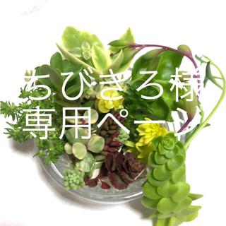 セダムカット苗17種、ムチカ5本(その他)