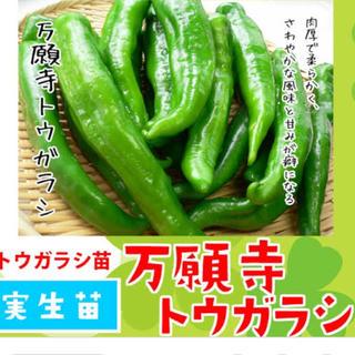 万願寺とうがらし苗8株(野菜)