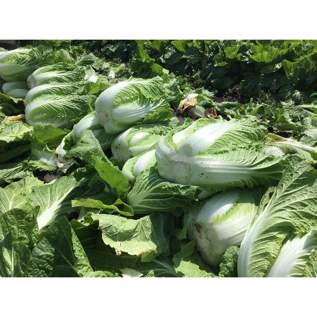 【送料込】採れたて大きな春白菜4本+タケノコ1本【栃木県産】 食品/飲料/酒の食品(野菜)の商品写真