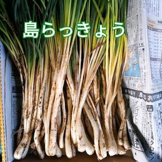 島らっきょう☆1kg♪(野菜)