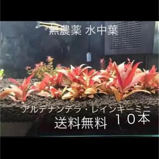 無農薬 アルテナンテラ・レインキーミニ 水中葉 10本
