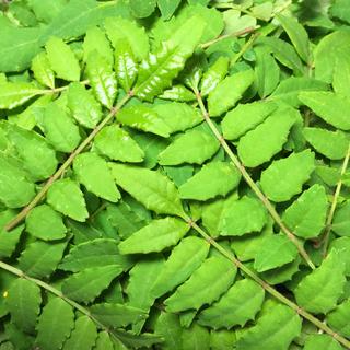 無農薬 木の芽 山椒の葉 90g(野菜)