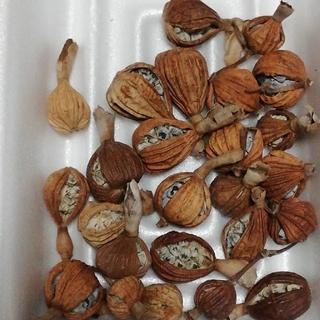 月桃の種 25個(ドライフラワー)