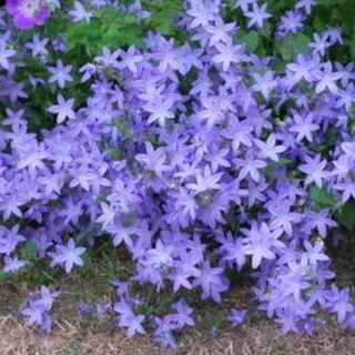 花の苗 カンパニュラ アルペンブルー 抜き苗(その他)