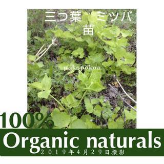 三つ葉 ミツバ みつば 抜き苗 根付き苗 オーガニック100% 天然 畑採取 (野菜)