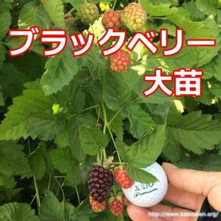 ■花芽付き ブラックベリー苗 トゲ無しボイセンベリー大苗 無農薬栽培♪(フルーツ)