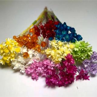スターフラワー ミニ マルセラ100本 ドライフラワー 花材 ハーバリウム花材(ドライフラワー)
