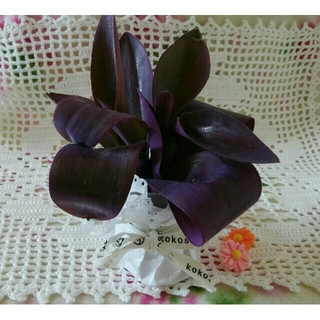 ムラサキゴテン 紫御殿 パープルハート 3カット苗(その他)