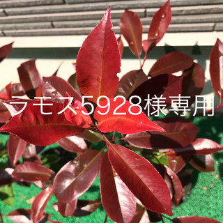 真っ赤な葉っぱがキレイ⭐️レッドロビン 2本セット(その他)