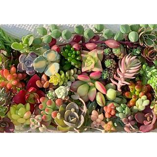 多肉植物 セダム カット✩.*˚   寄せ植えに♩¨̮(その他)