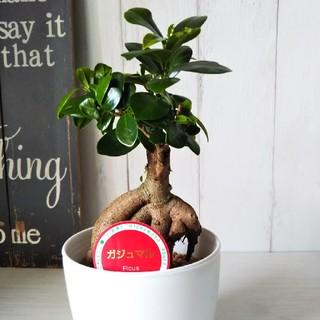 可愛い観葉植物‼️送料無料☆聖木ガジュマル④(プランター)