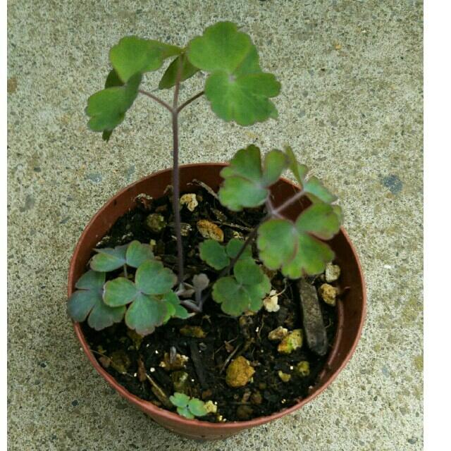 オダマキの苗&種‼ ハンドメイドのフラワー/ガーデン(その他)の商品写真
