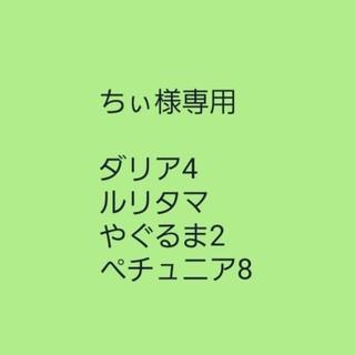 ちぃ様専用 【ダリア④】マルチカラー 種子7粒(その他)