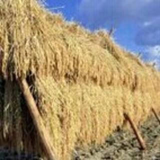 大山山麓無農薬無化学肥料栽培天日干しコシヒカリ5kg送料込(米/穀物)