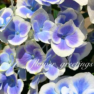 紫陽花 ✨数量限定✨カット苗 2本 ブルーピコティー (プランター)