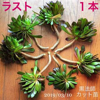 【抜き苗(カット苗)】黒法師(サンシモン):1本/(多肉植物)(その他)