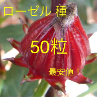 無農薬 ローゼルの種 50粒 2018年秋収穫(野菜)
