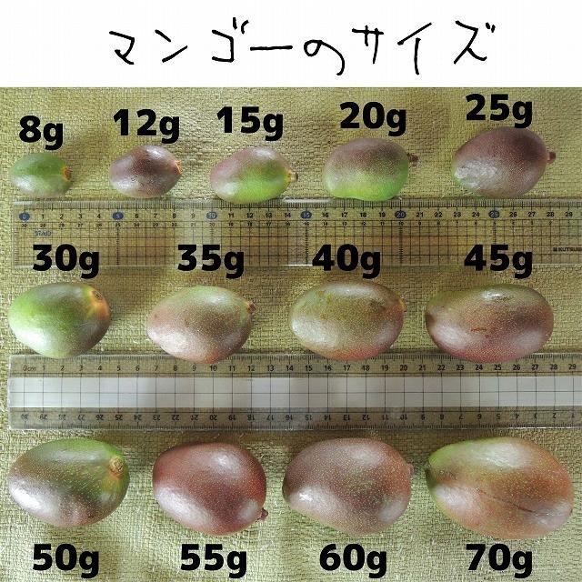 [橙3]約2.8キロ グリーンマンゴー 青マンゴー 摘果マンゴー 加工用 食品/飲料/酒の食品(フルーツ)の商品写真