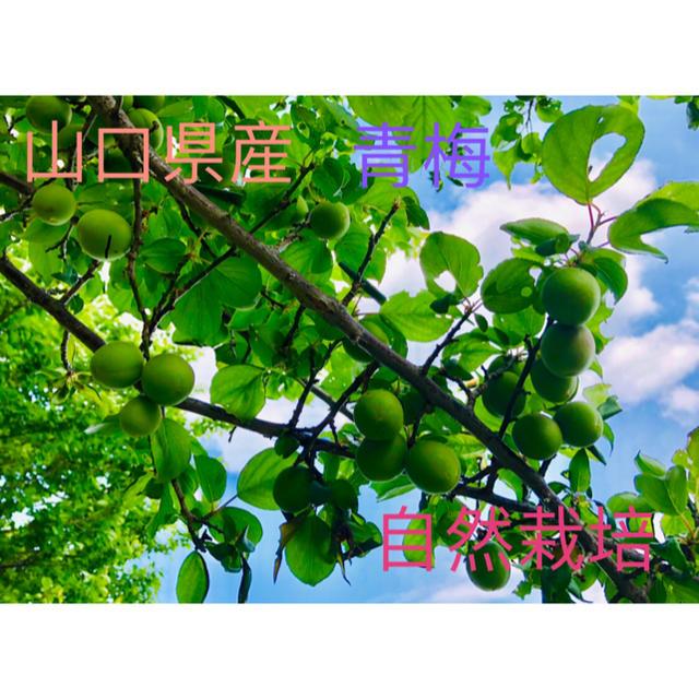 山口県産✳︎青梅✳︎1.3キロ 食品/飲料/酒の食品(フルーツ)の商品写真