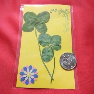 ❤️幸運の四つ葉のクローバー5枚セット❤️天然白爪草❤️送料無料(ドライフラワー)