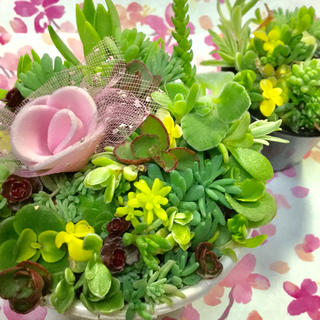 多肉植物セダムカット苗100本❣️スプリウムプードゥパリダムアロマティカス(その他)