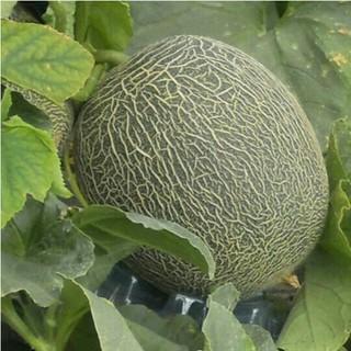 大山山麓 無農薬無化学肥料栽培ペルルメロン(野菜)