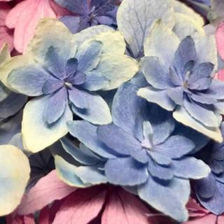 E29☆アジサイ かぐや姫※ブルーのみ【30輪】 花材ドライフラワー(ドライフラワー)