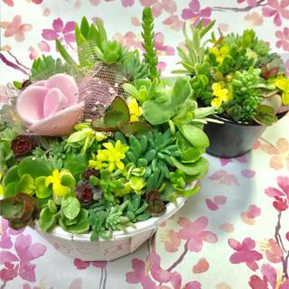 多肉植物セダムカット苗100本♪☆マツバギクパリダムミルキーウェイ(その他)