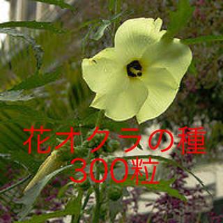 花オクラの種300粒