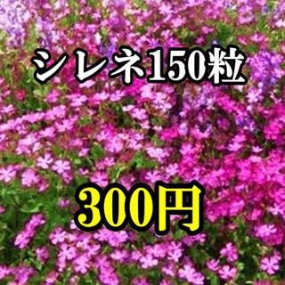 シレネの種 150粒以上(その他)