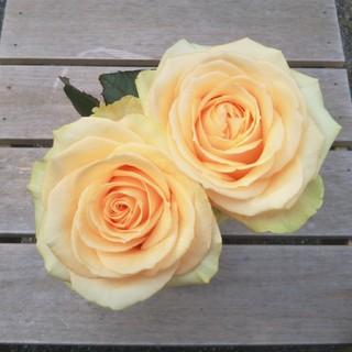 バラ苗 薔薇苗 ピーチアバランシェ(その他)