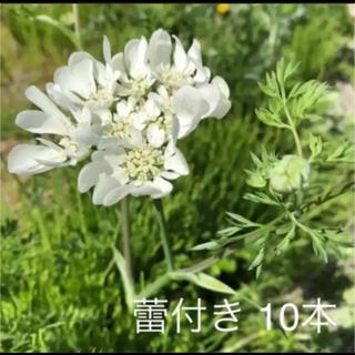 【特別価格】レースフラワー オルレア 蕾付き 抜き苗 10苗(プランター)