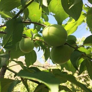 無農薬・自然農】和歌山県産 南高梅 20㎏ 中(野菜)