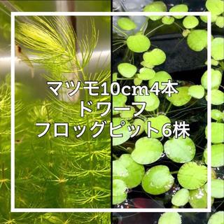 マツモ 10cm×4  ドワフロ×6