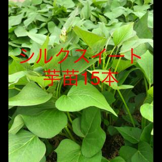 紫芋苗ー12本