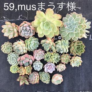 59,musまうす様専用 多肉植物(その他)
