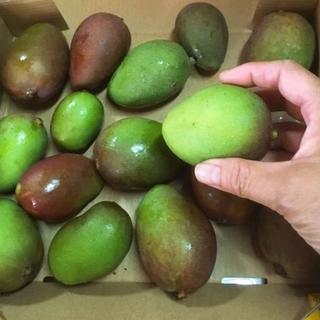 サラダや漬物ピクルスに!沖縄産 サクサク 青マンゴー3㎏♪(フルーツ)