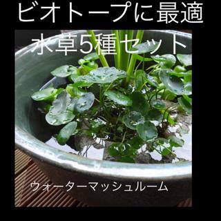 ビオトープ 水草5種セット