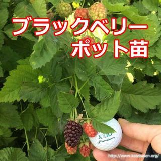 ■ブラックベリー苗 トゲ無しポット苗 ボイセンベリー 無農薬栽培♪(フルーツ)