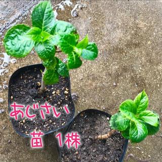 ¥400→350 ❁︎ あじさい(ホンアジサイ) 苗1株❁︎2点目から¥50引(その他)