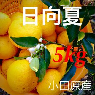 日向夏  5kg  小田原産  産地直送   送料込み(フルーツ)
