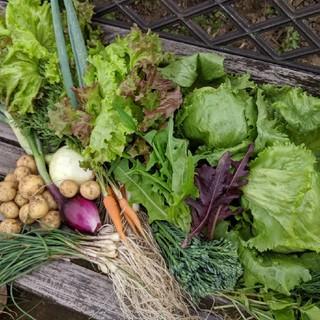 無農薬野菜  レタス類いっぱいセット fickle beat(野菜)