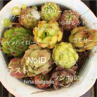 アーレ様専用⑵カラフルセンペルビウムジョビバルバ 11種アソートセット多肉植物(その他)