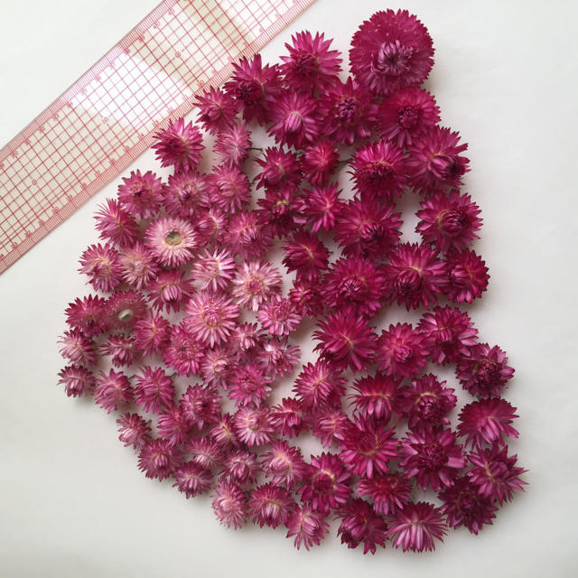 ヘリクリサムのピンクグラデーション大小80個 ハンドメイドのフラワー/ガーデン(ドライフラワー)の商品写真
