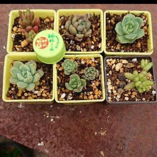 多肉植物 6種類抜き苗セット(その他)