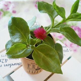 多肉植物 ベビーサンローズ  花つき苗 すぐ飾れます 初心者様にも育てやすい(その他)