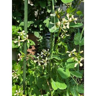 ルッコラ 30粒 オランダ種 とても丈夫で美味しいです(野菜)