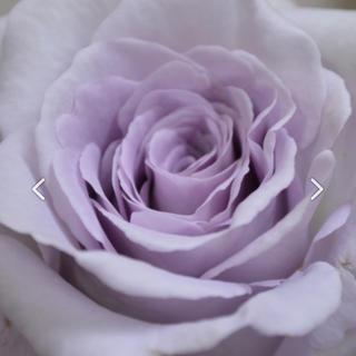 ともりん様専用です❣️天然の香水❣️切り花種バラ挿し木苗(その他)